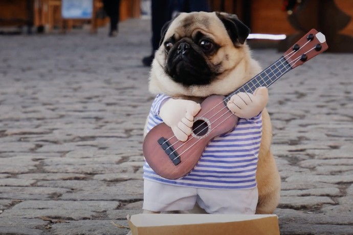 A pug is holding a banjo near a box asking for change.